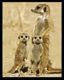 Meerkats Posters
