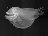 Bulbous Deep Sea Angler Photographic Print by Sandra J. Raredon