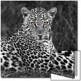 Retrato de leopardo Lámina por  Ortega