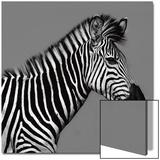 Cebra Retrato 高画質プリント : オルテガ