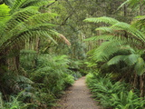 Footpath Through Temperate Rainforest, Strahan, Tasmania, Australia, Pacific Photographic Print by Jochen Schlenker