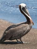 Brown Pelican, Port Egas, Isla Santiago, Galapagos Islands Fotografie-Druck von Michael DeFreitas