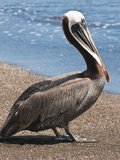 Brown Pelican, Port Egas, Isla Santiago, Galapagos Islands Photographic Print by Michael DeFreitas