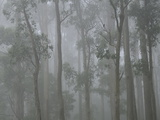 Mountain Ash Forest in Fog, Dandenong Ranges National Park, Dandenong Ranges, Victoria, Australia Photographic Print by Jochen Schlenker