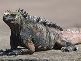 Marine Iguana, Port Egas (James Bay) Isla Santiago (Santiago Island), Galapagos Islands Photographic Print by Michael DeFreitas