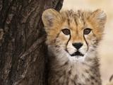 Cheetah (Acinonyx Jubatus) Cub, Masai Mara, Kenya, East Africa, Africa Photographic Print by Sergio Pitamitz