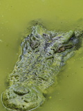 Saltwater Or Estuarine Crocodile (Crocodylus Porosus), Sarawak, Borneo, Malaysia Photographic Print by Jochen Schlenker