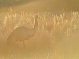 Emu, Wilsons Promontory National Park, Victoria, Australia, Pacific Papier Photo par Jochen Schlenker