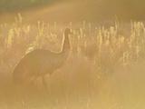 Emu, Wilsons Promontory National Park, Victoria, Australia, Pacific Photographic Print by Jochen Schlenker