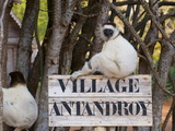 Verreaux's Sifaka (Propithecus Verreauxi), Berenty Private Reserve, Madagascar, Africa Photographic Print by Michael Runkel