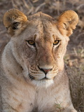 Lion (Panthera Leo), Masai Mara, Kenya, East Africa, Africa Photographic Print by Sergio Pitamitz