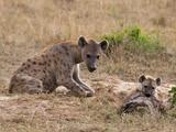 Spotted Hyaena (Crocuta Crocuta), Masai Mara, Kenya, East Africa, Africa Photographic Print by Sergio Pitamitz