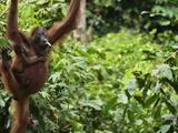 Orangutan (Pongo Borneo), Sabah, Borneo, Malaysia, Southeast Asia, Asia Photographic Print by Jochen Schlenker