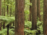 Redwoods and Tree Ferns, the Redwoods, Rotorua, Bay of Plenty, North Island, New Zealand, Pacific Photographic Print by Jochen Schlenker
