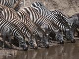 Zebra (Equus Quagga), Masai Mara, Kenya, East Africa, Africa Photographic Print by Sergio Pitamitz