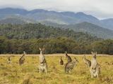 Eastern Grey Kangaroos, Geehi, Kosciuszko National Park, New South Wales, Australia, Pacific Fotografisk tryk af Jochen Schlenker