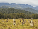 Eastern Grey Kangaroos, Geehi, Kosciuszko National Park, New South Wales, Australia, Pacific Photographic Print by Jochen Schlenker