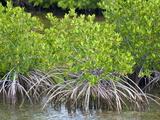 Mangrove Forest in Buena Vista UNESCO Biosphere Reserve, Buena Vista Bay, Cayo Santa Maria, Cuba Photographic Print by Michael DeFreitas