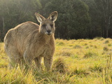 Eastern Grey Kangaroo, Geehi, Kosciuszko National Park, New South Wales, Australia, Pacific Photographic Print by Jochen Schlenker