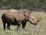 White Rhinoceros (Caratotherium Simum), Kariega Game Reserve, South Africa, Africa Photographic Print by Sergio Pitamitz