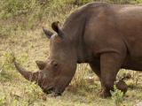White Rhinoceros (Cerototherium Simium), Masai Mara, Kenya, East Africa, Africa Photographic Print by Sergio Pitamitz
