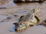 Nile Crocodile (Crocodylus Niloticus), Tsavo East National Park, Kenya, East Africa, Africa Photographic Print by Sergio Pitamitz