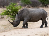 White Rhinoceros (Ceratotherium Simum), Kapama Game Reserve, South Africa, Africa Photographic Print by Sergio Pitamitz