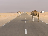 Camels Standing on the Road Between Nouadhibou and Nouakchott, Mauritania, Africa Photographic Print by Michael Runkel