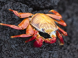 Sally Lightfoot Crab (Grapsus Grapsus), Cormorant Point, Isla Santa Maria, Galapagos Islands Photographic Print by Michael DeFreitas