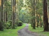 Mountain Ash Forest, Dandenong Ranges National Park, Dandenong Ranges, Victoria, Australia, Pacific Fotografisk tryk af Jochen Schlenker