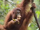 Orangutan (Pongo Borneo), Semenggoh Wildlife Reserve, Sarawak, Borneo, Malaysia Photographic Print by Jochen Schlenker