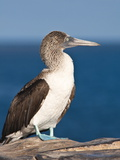 Blue Footed Booby, Isla Lobos Off Isla San Cristobal (San Cristobal Island), Galapagos Islands Photographic Print by Michael DeFreitas