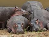 Hippopotamus (Hippopotamus Amphibius), Masai Mara, Kenya, East Africa, Africa Photographic Print by Sergio Pitamitz