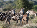 Grant's Zebra (Equus Quagga Boehmi), Lualenyi Game Reserve, Kenya, East Africa, Africa Photographic Print by Sergio Pitamitz