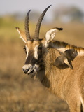 Roan Antelope and Oxpecker, Busanga Plains, Kafue National Park, Zambia, Africa Photographic Print by Sergio Pitamitz