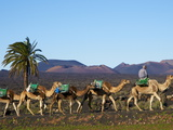 Excursion By Camel to Visit Volcano, National Park of Timanfaya, Lanzarote, Canary Islands, Spain Photographic Print