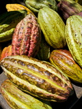 Chocolate Fruits From a Theobroma Cacao Tree, Madagascar, Africa Fotografisk tryk af Michael Runkel