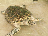 Old Hegg Turtle Sanctuary, Bequia, St. Vincent and the Grenadines, Windward Islands Photographic Print by Michael DeFreitas