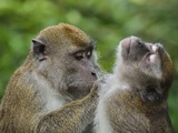 Macaques, Sabah, Borneo, Malaysia, Southeast Asia, Asia Photographic Print by Jochen Schlenker
