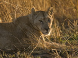 Lioness, Busanga Plains, Kafue National Park, Zambia, Africa Photographic Print by Sergio Pitamitz