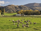 Sheep on Farmland, Near Tarras, Otago, South Island, New Zealand, Pacific Photographic Print by Jochen Schlenker