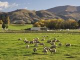 Sheep on Farmland, Near Tarras, Otago, South Island, New Zealand, Pacific Photographic Print by Jochen Schlenker