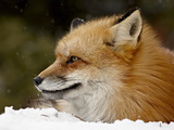 Captive Red Fox (Vulpes Vulpes) in the Snow, Near Bozeman, Montana, USA Photographic Print by James Hager