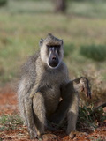 Yellow Baboon (Papio Hamadryas Cynocephalus), Tsavo East National Park, Kenya, East Africa, Africa Photographic Print by Sergio Pitamitz