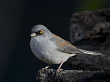Yellow-Eyed Junco (Junco Phaeonotus), Chiricahuas, Coronado National Forest, Arizona, USA Reproduction photographique par James Hager