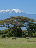 Zebra, Amboseli National Park, With Mount Kilimanjaro in the Background, Kenya, East Africa, Africa Fotografisk tryk af Charles Bowman