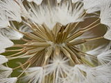 Western Salsify (Goatsbeard) (Tragopogon Dubius) Seedhead, Glacier National Park, Montana Photographic Print by James Hager