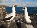 Nazca Booby (Sula Dactylatra), Suarez Point, Isla Espanola, Galapagos Islands, Ecuador Photographic Print by Michael DeFreitas