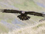 A Captive Golden Eagle (Aquila Chrysaetos), Flying Over Moorland, United Kingdom, Europe Fotografisk tryk af Ann & Steve Toon