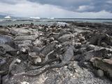 Marine Iguana (Amblyrhynchus Cristatus), Espinosa Point, Isla Fernandina, Galapagos Islands Photographic Print by Michael DeFreitas